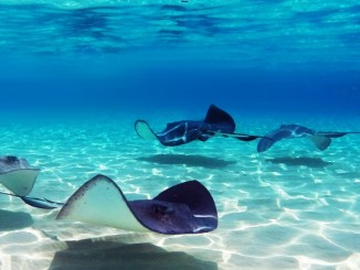 stingray-city-cayman-islands